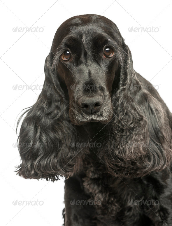 Close-up of an English Cocker Spaniel looking at the camera, isolated on white - Stock Photo - Images