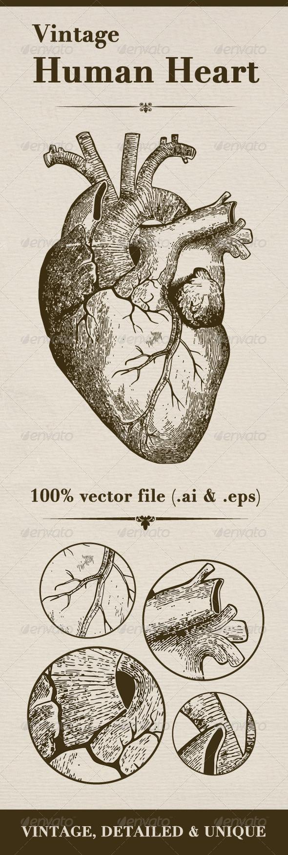 Vintage Human Heart - Objects Vectors