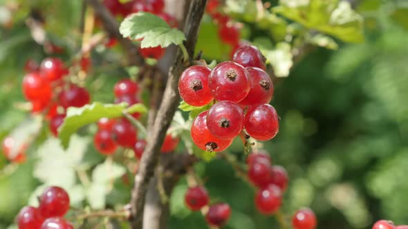 Lot Of Small Red Berries On Ribes Rubrum Plant Natural Shallow Dof