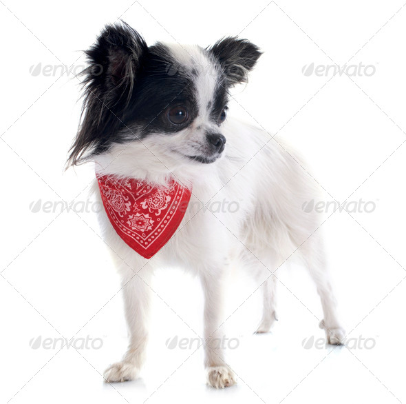chihuahua and scarf - Stock Photo - Images