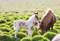 Icelandic horse with her colt. Iceland, Europe. - PhotoDune Item for Sale