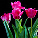Tulip Flowers  - VideoHive Item for Sale