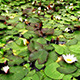 Water Lily Flower  - VideoHive Item for Sale