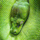 green tree python eye - PhotoDune Item for Sale