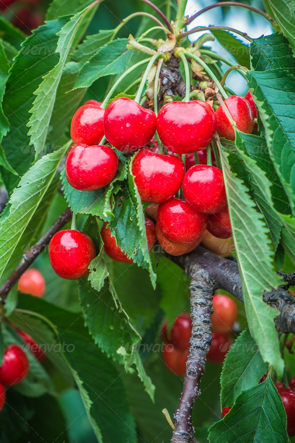 Fresh Cherries - Stock Photo - Images