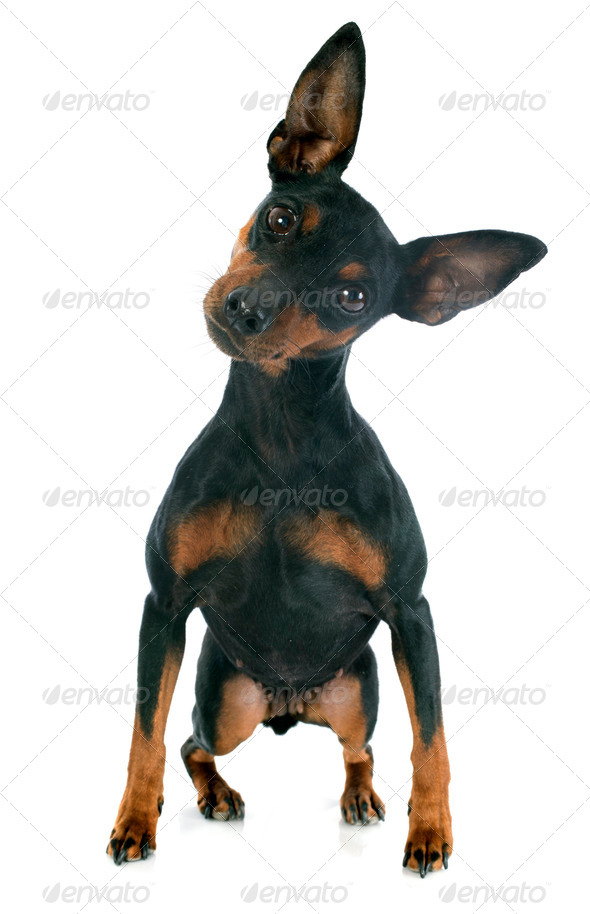 miniature pinscher - Stock Photo - Images