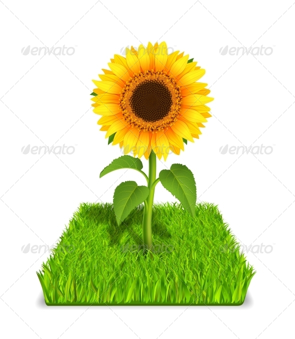 Sunflower in the Green Grass - Flowers & Plants Nature