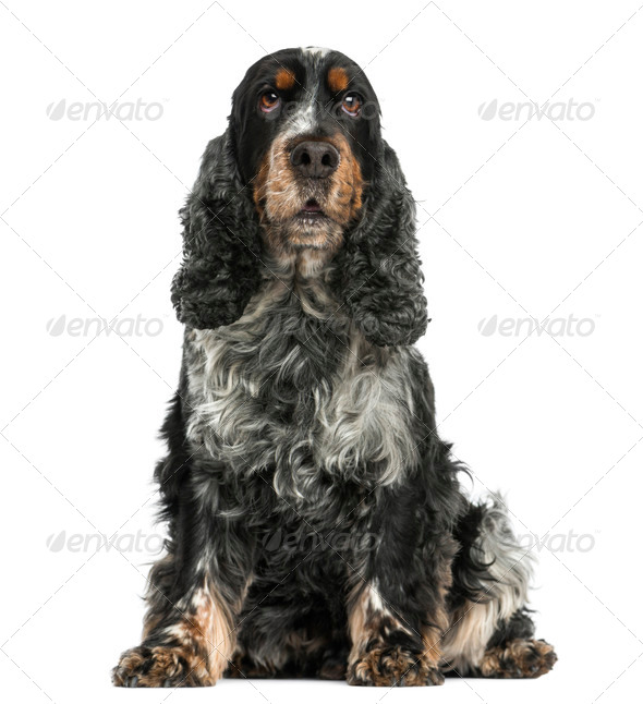 Front view of an English cocker spaniel sitting, 8 years old, isolated on white - Stock Photo - Images