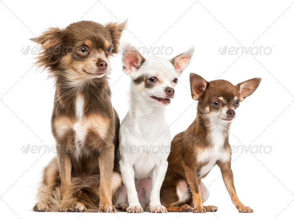 Group of Chihuahuas sitting, 2 years old, isolated on white - Stock Photo - Images