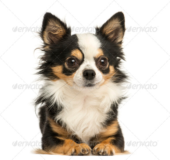 Front view of a Chihuahua lying, 4 years old, isolated on white - Stock Photo - Images