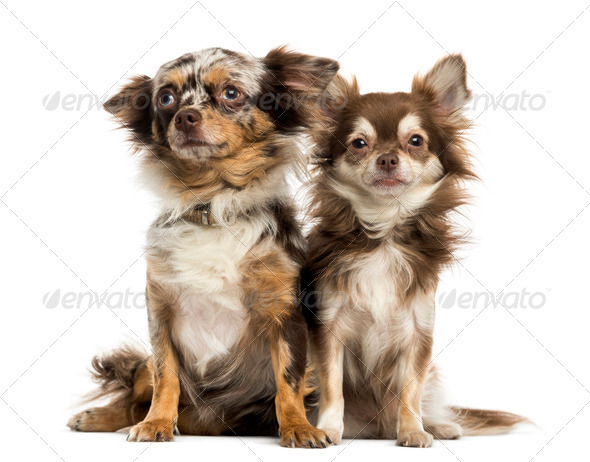 Two Chihuahuas sitting next to each other, isolated on white - Stock Photo - Images