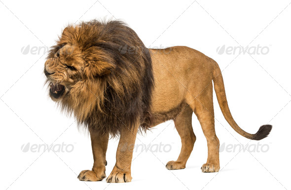 Lion standing, roaring, Panthera Leo, 10 years old, isolated on white - Stock Photo - Images