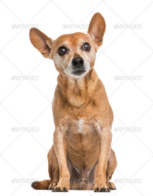 Front view of an old German pinscher, 13 years old, isolated on white - Stock Photo - Images