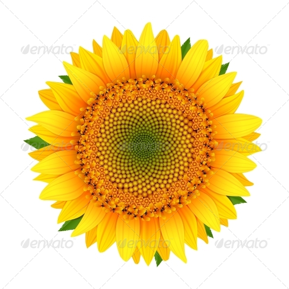 Sunflower isolated on white - Flowers & Plants Nature