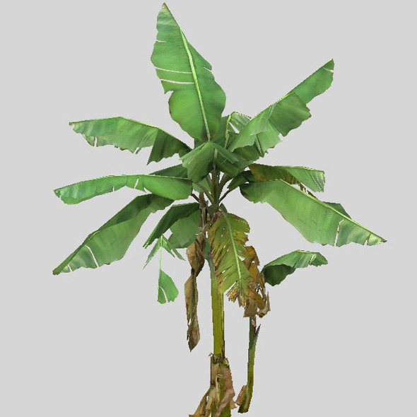 Banana trees - 3DOcean Item for Sale
