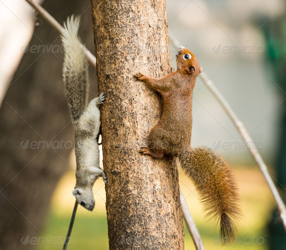 squirrel or small gong, Small mammals native to the tropical forests at Thailand