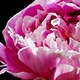 Peony Flowers - VideoHive Item for Sale