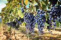 tuscany wine grapes - PhotoDune Item for Sale