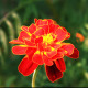 Tagetes - VideoHive Item for Sale