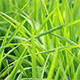 Paddy Plant Background - VideoHive Item for Sale
