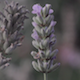 Lavender in the Wind  - VideoHive Item for Sale