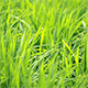 Paddy Field Background 01 - VideoHive Item for Sale