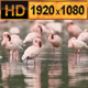 Flamingo Wild Africa - VideoHive Item for Sale
