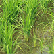 Paddy Field View - VideoHive Item for Sale