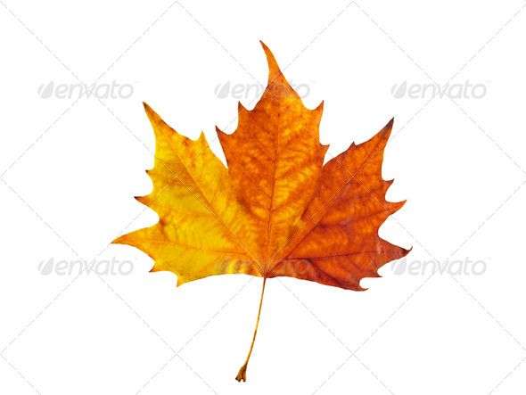 Maple Leafe - Stock Photo - Images