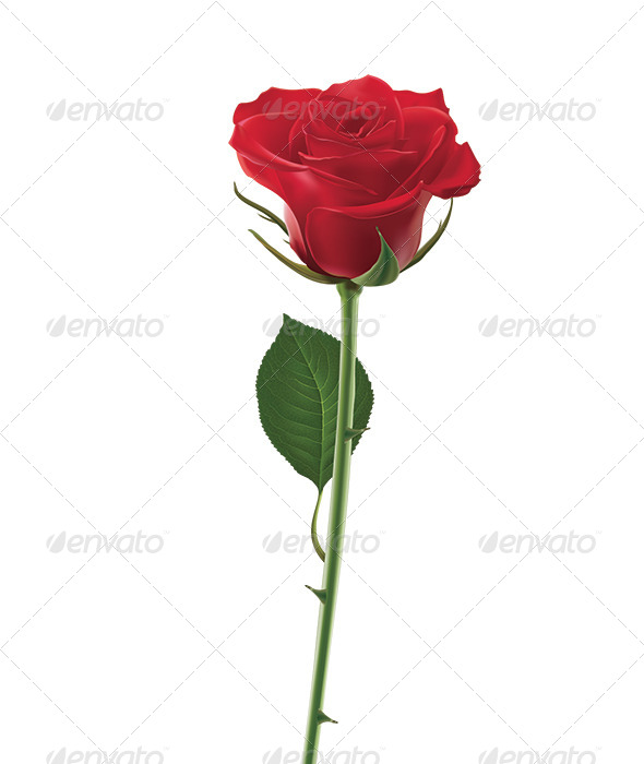 Red Rose Isolated on White - Objects Illustrations