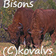 Two Bison in a Field - VideoHive Item for Sale