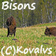 Bisons In The Forest 2 - VideoHive Item for Sale