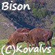 Bison In The Field - VideoHive Item for Sale