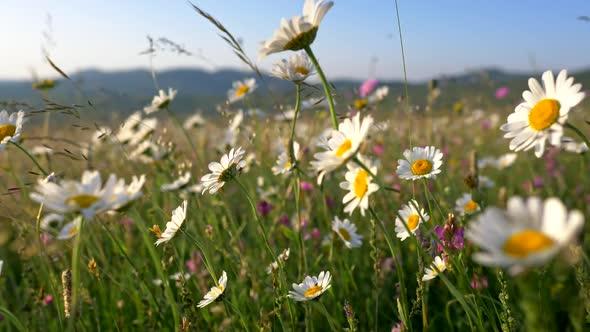 White Daisy Flowers Field Meadows