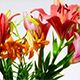 Lily Flowers - VideoHive Item for Sale