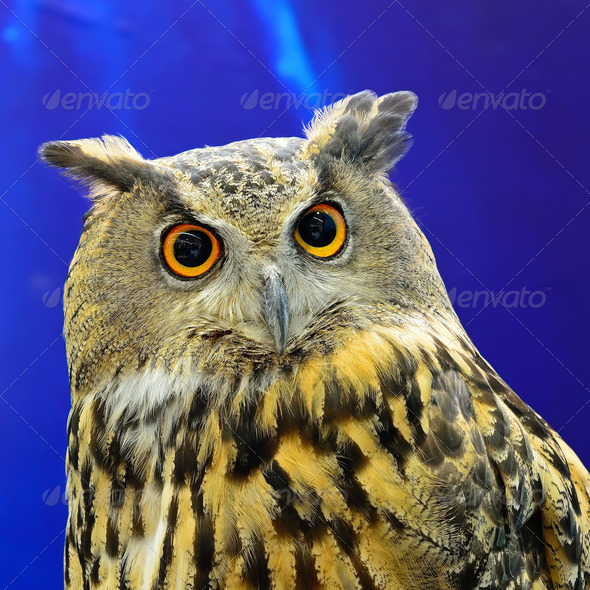 Eurasian Eagle Owl - Stock Photo - Images
