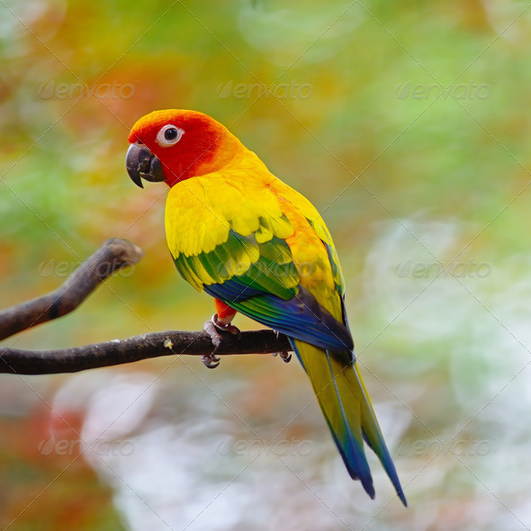 Sun Conure - Stock Photo - Images