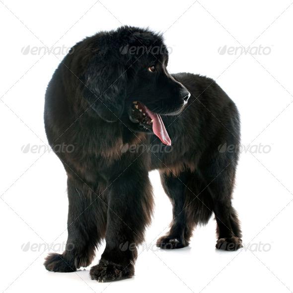 newfoundland dog - Stock Photo - Images