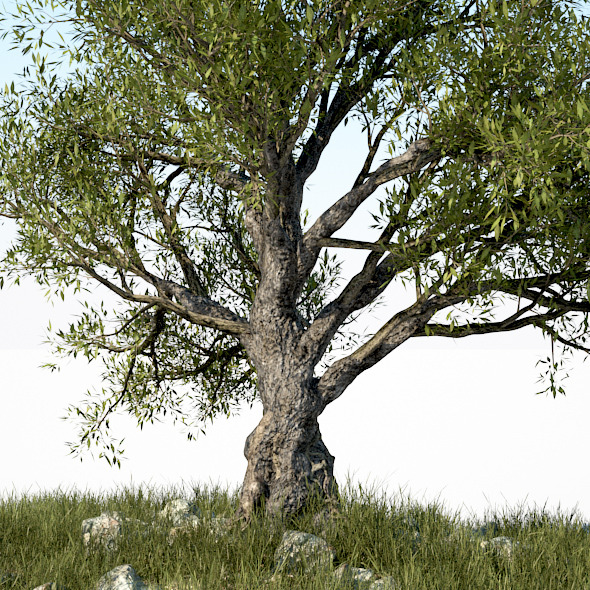 HD Olive Tree - 3DOcean Item for Sale