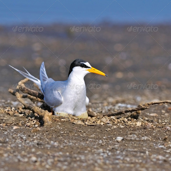 Little Tern - Stock Photo - Images