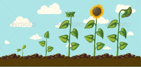 Sunflower - Seasons Nature