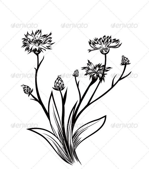 Cornflower - Flowers & Plants Nature