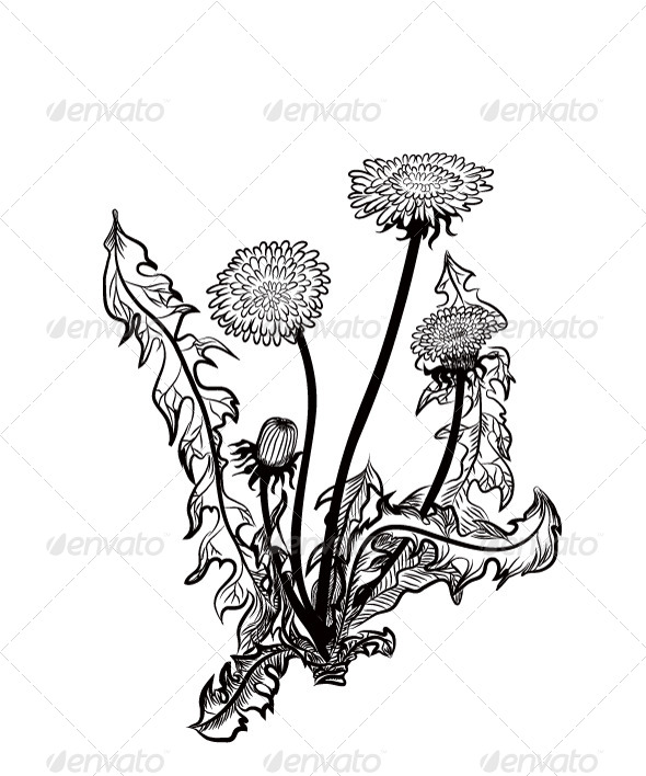 Dandelion - Flowers & Plants Nature