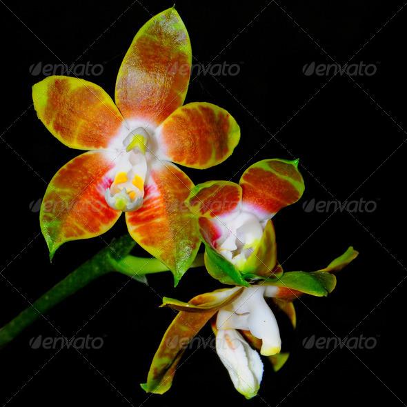 Phalaenopsis venosa - Stock Photo - Images