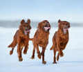 Irish Setters in motion - PhotoDune Item for Sale