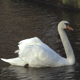 White swan on a pond. - VideoHive Item for Sale