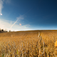Golden Field - VideoHive Item for Sale