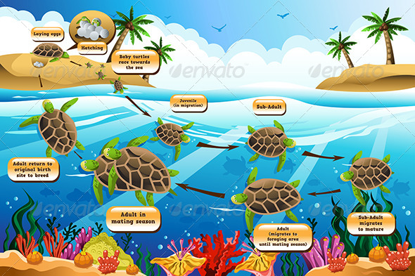 Life Cycle of the Sea Turtle - Animals Characters