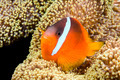 Playful orange clownfish - PhotoDune Item for Sale