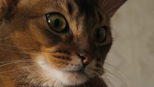 Abyssinian Cat Eyes